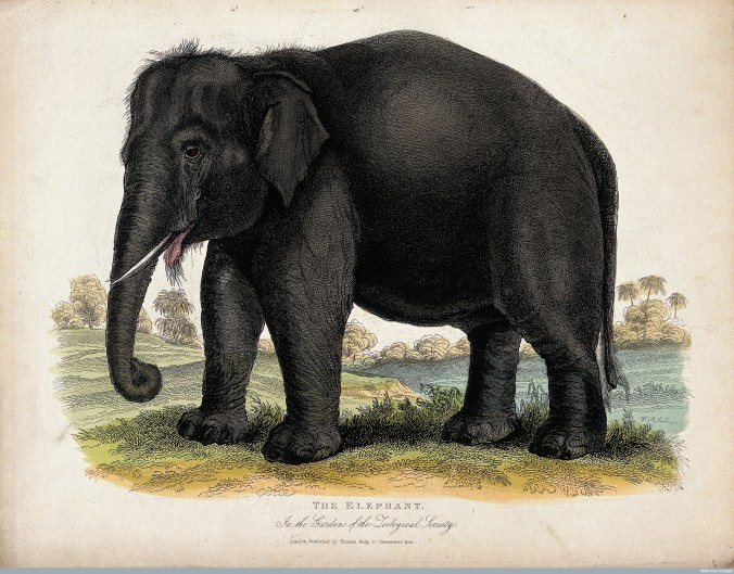 V0023127 Zoological Society of London: an elephant. Coloured etching.
